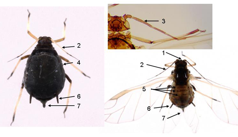 Aphis fabae : fiche identification