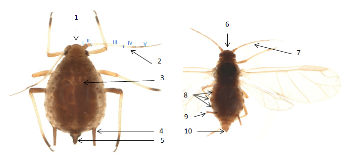 Aphis forbesi : fiche d'identification