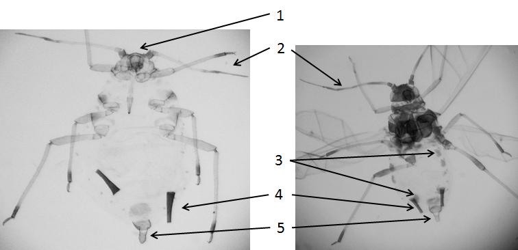 Aphis frangulae gossypii : fiche d'identification