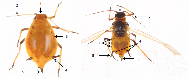 Aphis nerii : fiche d'identification