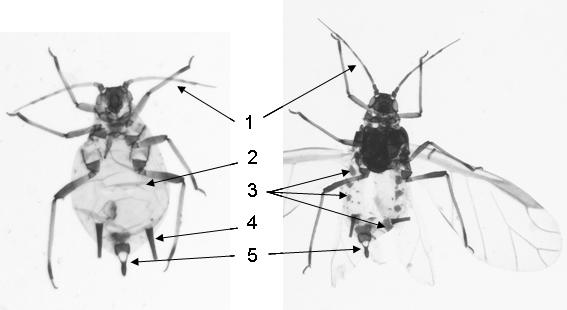 Aphis spiraecola : fiche d'identification