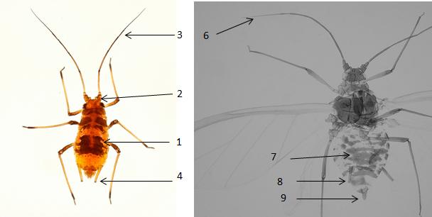 Aulacorthum circumflexum : fiche d'identification