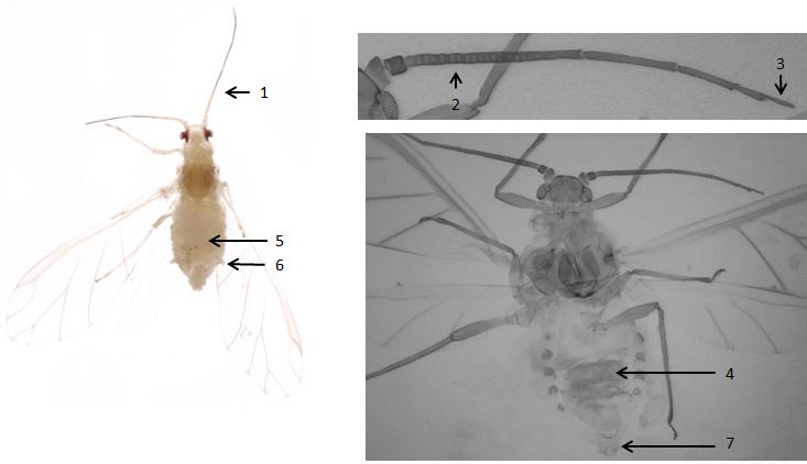 Betulaphis quadrituberculata : fiche d'identification