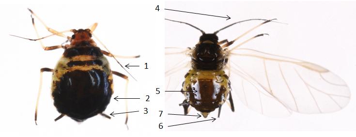 Brachycaudus cardui : fiche d'identification