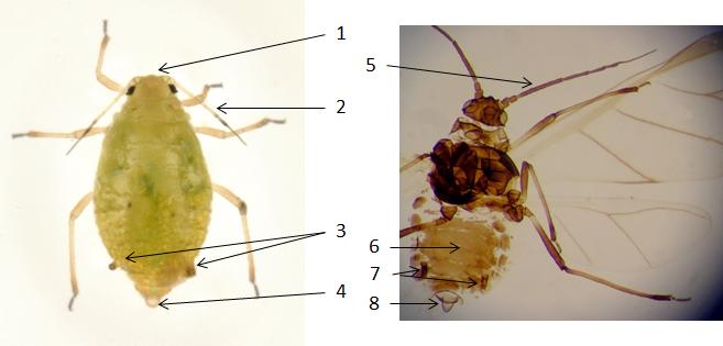 Brachycaudus helichrysi : fiche identification