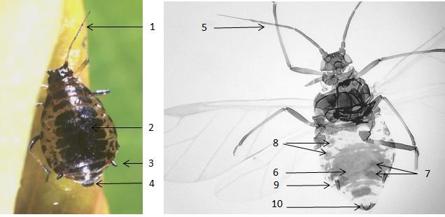 Brachycaudus schwartzi : fiche d'identification