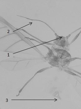 Brachycorynella asparagi : fiche d'identification