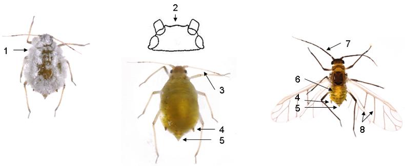 Brevicoryne brassicae : fiche identification