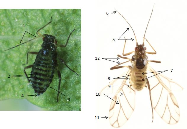 Callipterinella calliptera : fiche d'identification