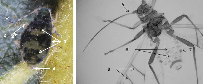 Callipterinella tuberculata : fiche d'identification