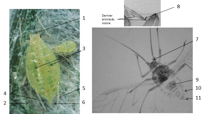 Capitophorus horni : fiche d'identification