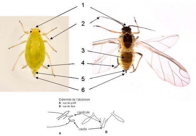 Cavariella aegopodii : fiche d'identification