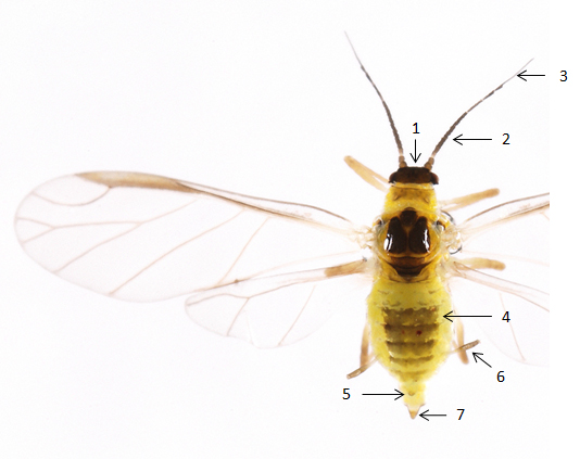 Cavariella pastinacae : fiche d'identification
