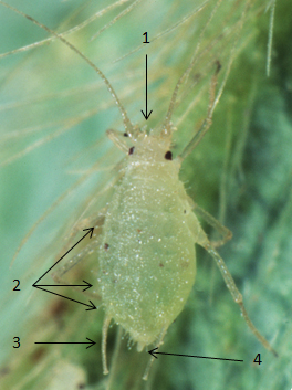 Chaetosiphon fragaefolii : fiche d'identification