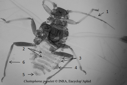 Chaitophorus populeti : fiche d'identification
