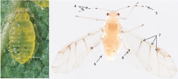 Chromaphis juglandicola : fiche d'identification