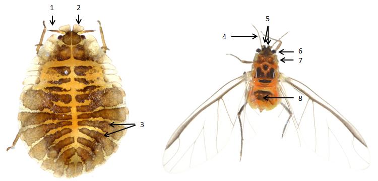 Crypturaphis grassi : fiche d'identification