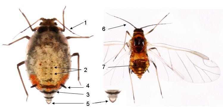 Dysaphis crataegi : fiche d'identification