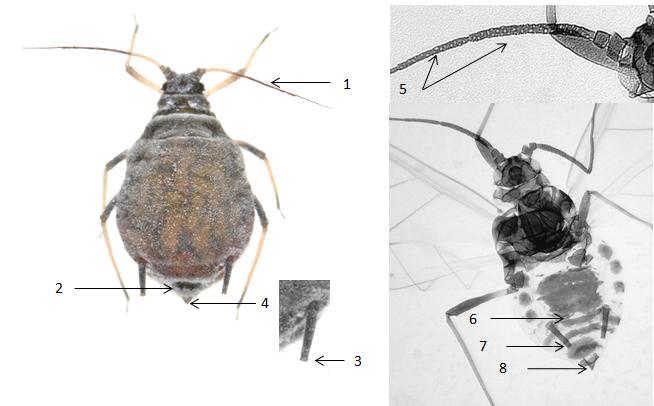 Dysaphis plantaginea : fiche d'identification