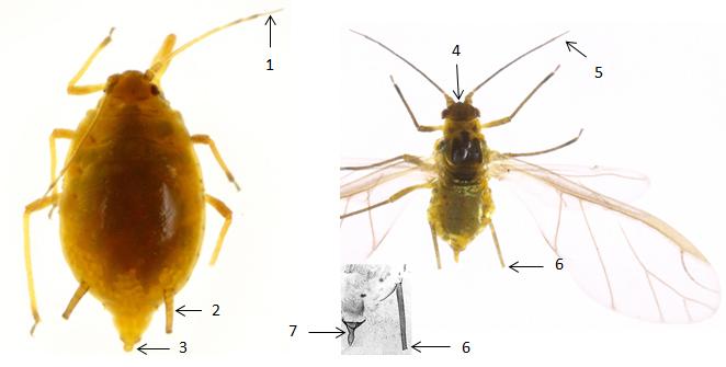 Elatobium abietinum : fiche d'identification