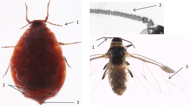 Eriosoma lanigerum : fiche d'identification
