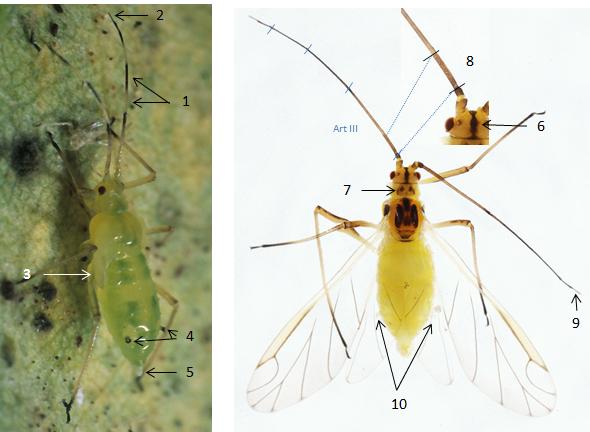 Euceraphis punctipennis : fiche d'identification