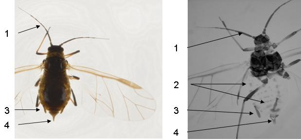 Hyadaphis foeniculi  : fiche d'identification