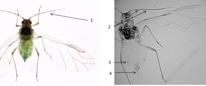 Hyalopterus pruni : fiche d'identification