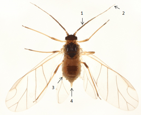 Longicaudus trirhodus : fiche d'identification