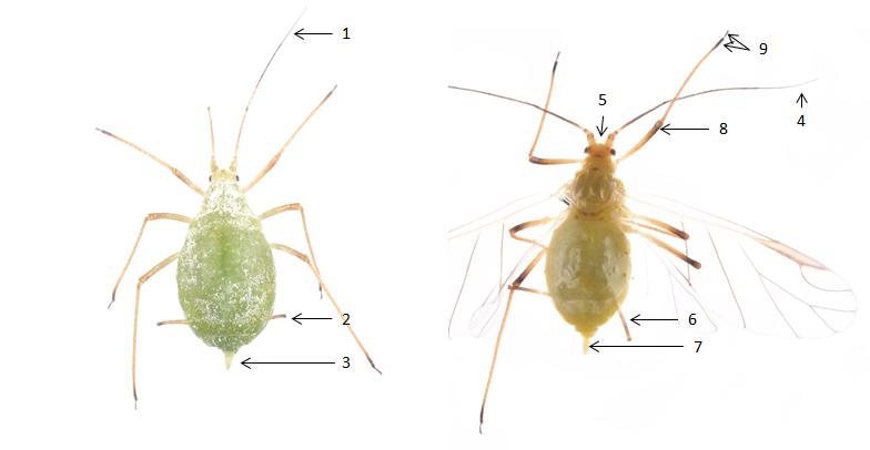 Macrosiphum albifrons : fiche d'identification