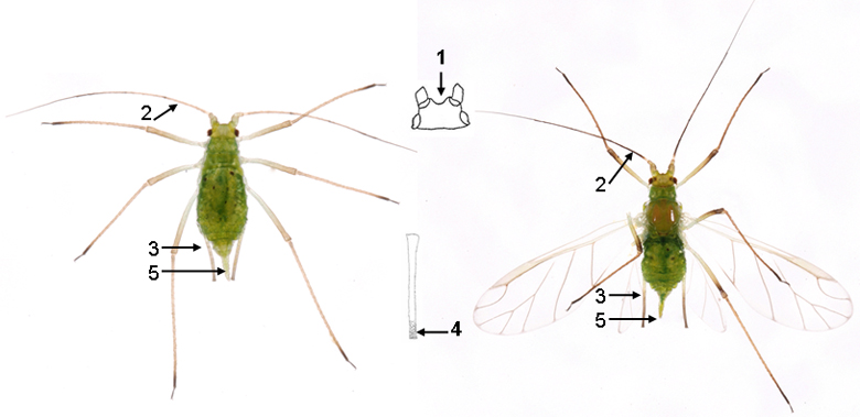 Macrosiphum euphorbiae : fiche d'identification