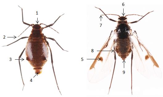 Maculolachnus submacula : fiche d'identification