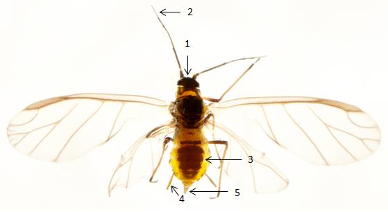 Myzaphis rosarum : fiche d'identification