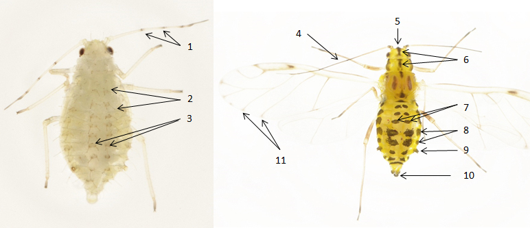 Myzocallis castanicola : fiche d'identification