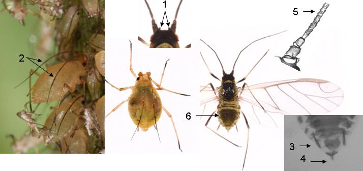 Myzus ascalonicus : fiche identification