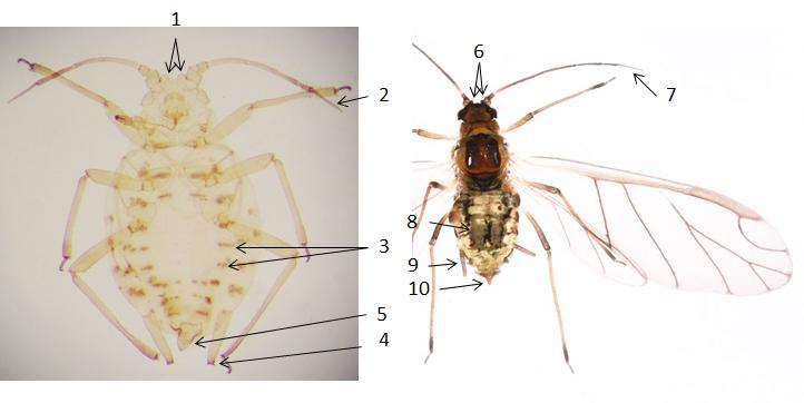 Myzus ornatus : fiche d'identification