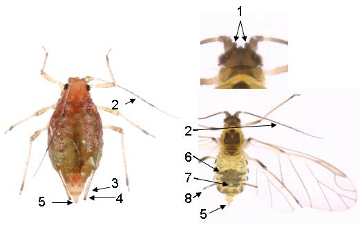 Myzus persicae : fiche identification