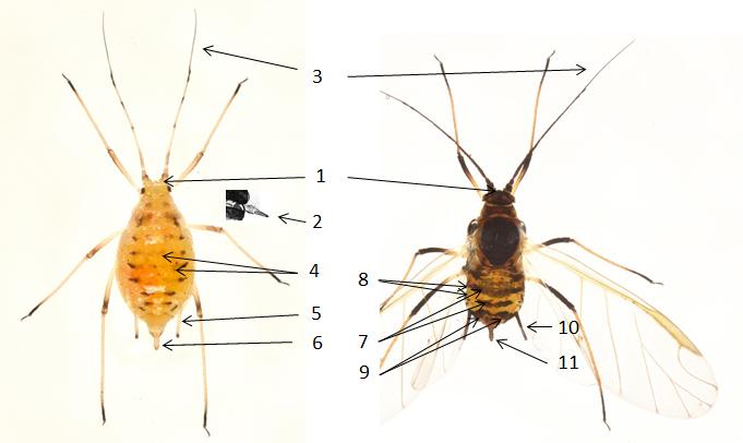 Nasonovia ribisnigri : fiche d'identification