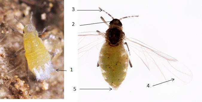 Pemphigus bursarius : fiche d'identification