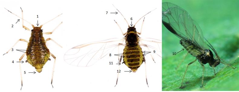 Periphyllus testudinaceus : fiche d'identification