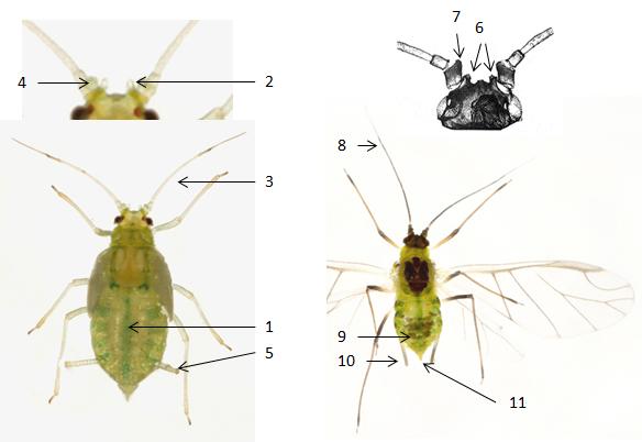 Phorodon humuli : fiche d'identification