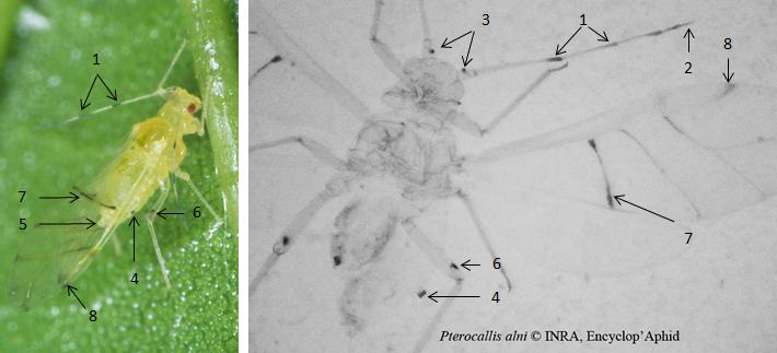 Pterocallis alni : fiche d'identification