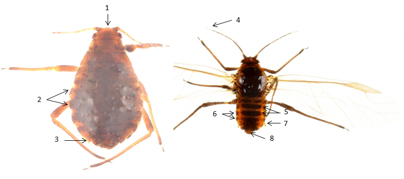 Pterocomma pilosum : fiche d'identification