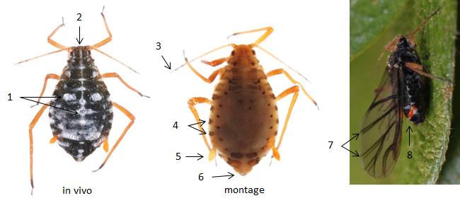 Pterocomma salicis : fiche d'identification