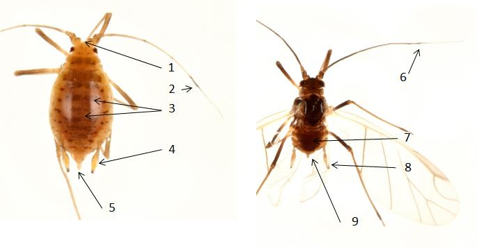 Rhopalosiphoninus staphyleae : fiche d'identification