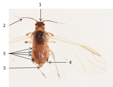 Rhopalosiphum insertum : fiche d'identification