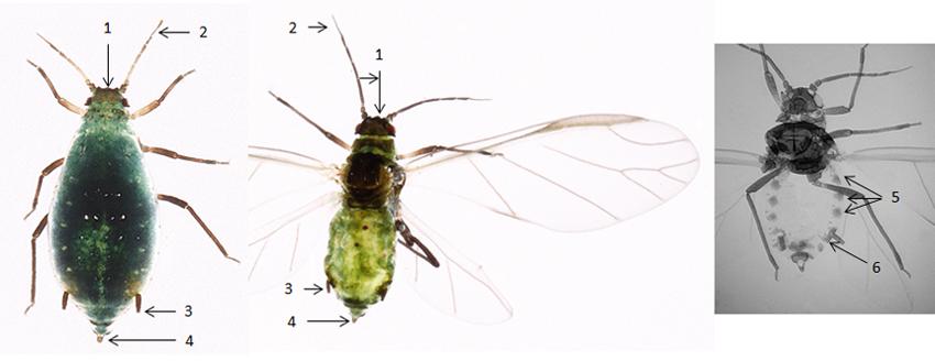 Rhopalosiphum maidis : fiche d'identification