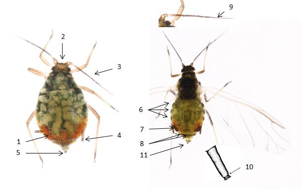 Rhopalosiphum padi : fiche d'identification
