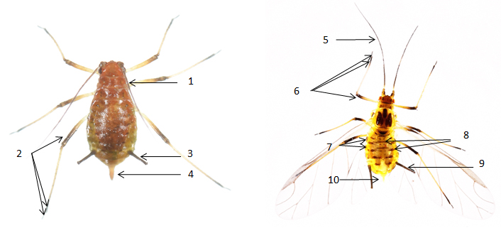 Sitobion fragariae : fiche identification