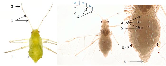 Tuberculatus annulatus : fiche d'identification